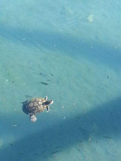 Turtle at Balmorhea