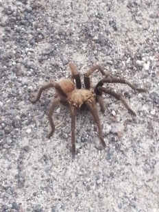 Tarantula- unusual siting in the winter